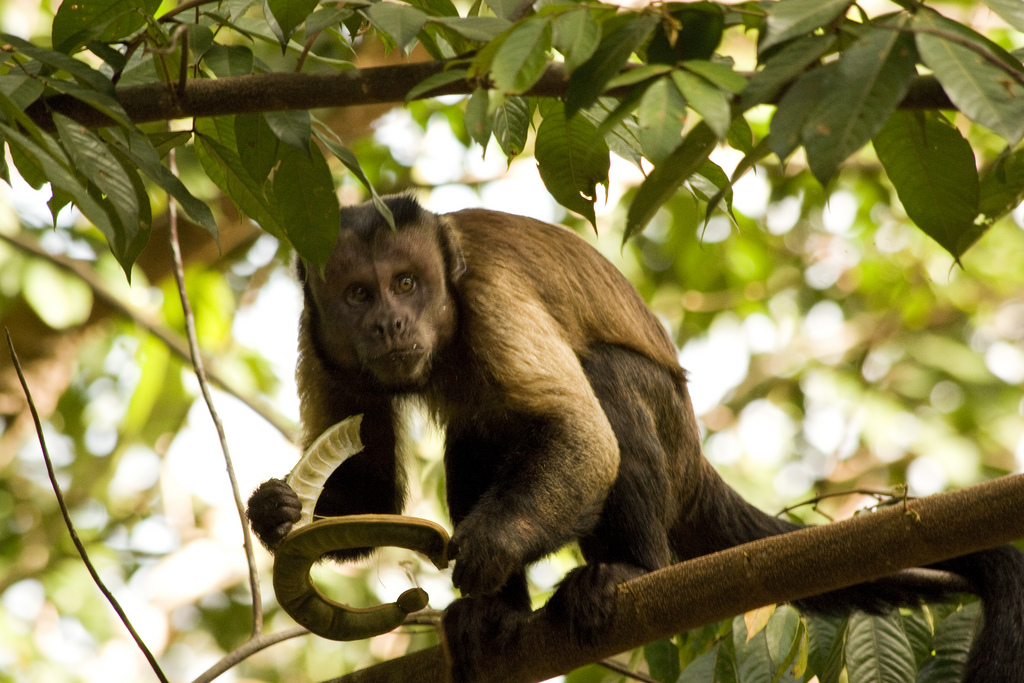 monkeys like this fella here are among the top reasons to visit French Guiana ... photo by CC user deadmike on Flickr